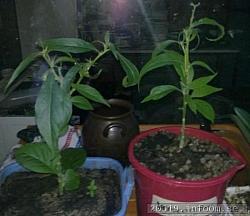 Två övervintrade plantor från förra året..
