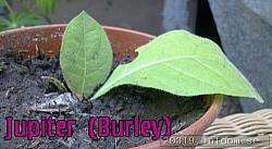 En Spännande och Nikotinsnål Burley