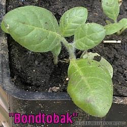 Tätt omplanterade Rustica