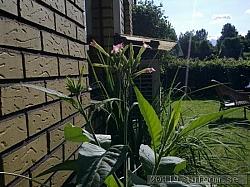 Blommor och knoppar av Nicotiana Tabacum typ