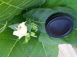 Tyvärr är bilden upp och ner. Men det förtällerEn inte helt ovanlig Mutation av en N.tabacum blomma.
