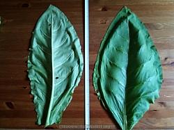 Till vänster visas undersidan av ett Tofta blad och till höger översidan av ett Tofta blad.