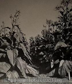 Bilden föreställer tobaksplantor som fått gå i blom. Bilden är tagen i någon av Svalövs provodlingar. Tyvärr kan jag inte säga exakt vilka varianterna är men det är absolut inte Tofta tobak utan mer troligt någon Amerikans tobak. Isf odlad med syfte att avla in anlag i våra då befintliga svenska sorter.