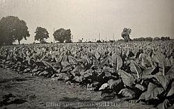 Bilden föreställer toppade plantor på en av Svalövs prov odlingar (troligen taget någon gång i slutet av 1950-talet).