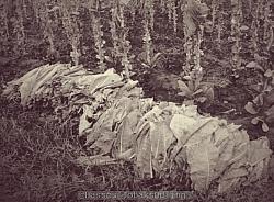 Bilden visar skördade tobaksblad som ligger staplade i högar för att vissna lite innan nästa steg i processen.