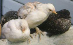 tillsalu             3 höns kycklingar på 8 veckor