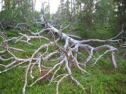 Tänk att ett gamalt nedfallet träd kan vara så vackert på bild....